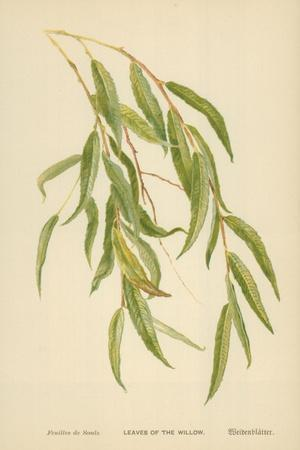 Leaves of the Willow