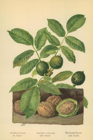 Walnut, Foliage and Fruit