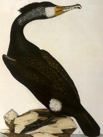Cormorant, Phalacrocorax Carbo
