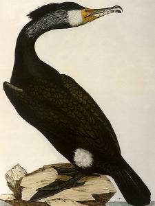 Cormorant, Phalacrocorax Carbo by William Home Lizars