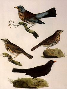 Four Perching Birds by William Home Lizars