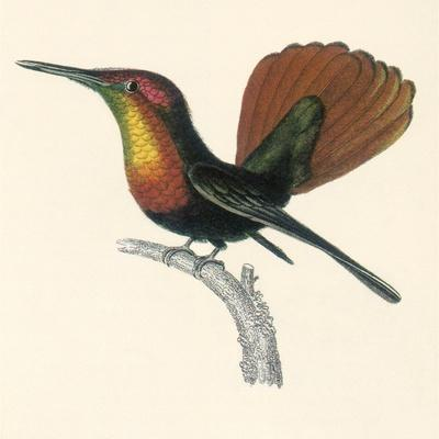 Ruby and Topaz Humming-Bird, Chrysolampis Mosquitis