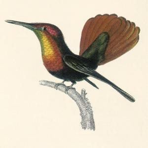 Ruby and Topaz Humming-Bird, Chrysolampis Mosquitis by William Home Lizars