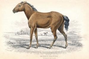 Tarpan, 1830 by William Home Lizars