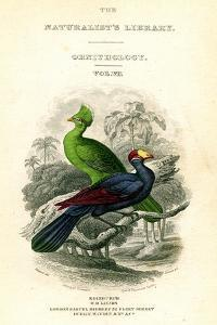 The Naturalist's Library, Ornithology, Senegal Touraco, Violet Plantain Eater, C1833-1865 by William Home Lizars