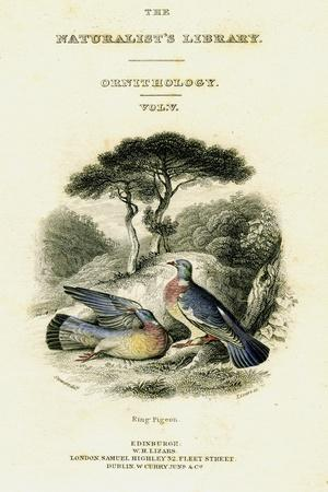 The Naturalist's Library, Ornithology Vol V, Ring Pigeon, C1833-1865