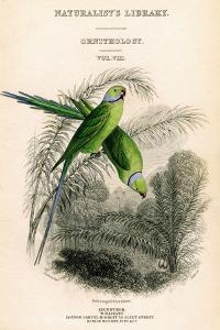 The Naturalist's Library, Ornithology Vol VIII, Red Ringed Parrakeet, C1833-1865 by William Home Lizars