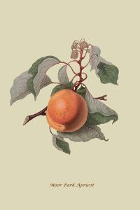 Moor Park Apricot by William Hooker