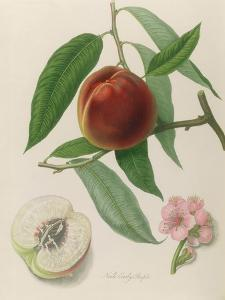 Nectarine: Neals Early Purple by William Hooker