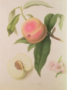 Noblesse Peach by William Hooker