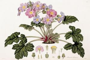 Primula Sinensis, 1821-1826 by William Hooker