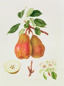 The Chaumontelle Pear, 1818 by William Hooker