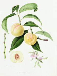 The Conudray Nectarine, 1820 by William Hooker