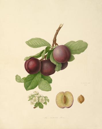 The Nectarine Plum