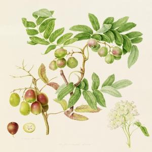 The Pear-Shaped Service Crab Apple, 1820 by William Hooker
