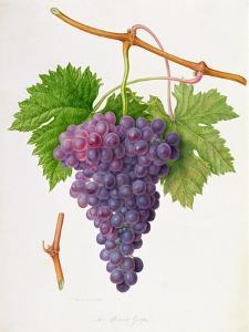 The Poonah Grape, 1820 by William Hooker