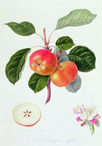 The Trumpington Apple, 1819 by William Hooker