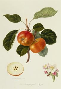 The Trumpington Apple by William Hooker