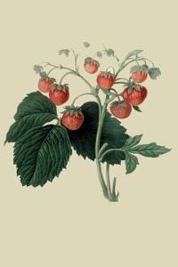 Wilmot's Late Scarlet Strawberry by William Hooker