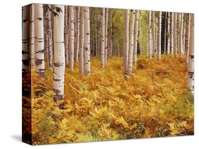 Aspen Forest in Golden Colored Ferns