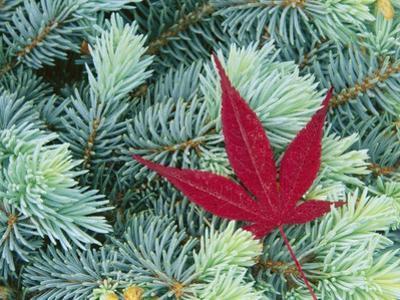 Japanese Maple Leaf on Evergreen
