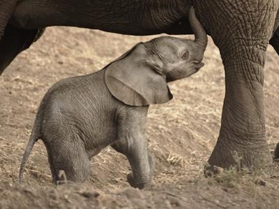 Newborn Baby Elephant Learning to Nurse