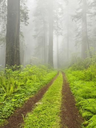 Old forest road running through towering redwood trees by William Manning