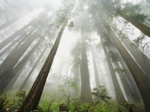 Redwood trees near Damnation Creek Trail by William Manning