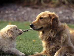 Golden Retriever Dog and Puppy by William Meyer
