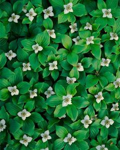 Bunchberry by William Neill