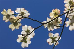 Dogwood Blossoms I by William Neill