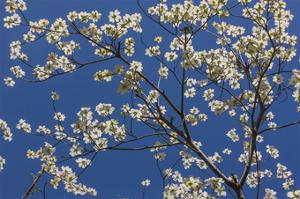 Dogwood Blossoms II by William Neill