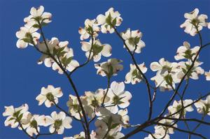 Dogwood Blossoms III by William Neill