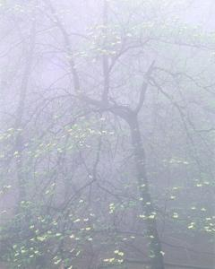 Dogwood in Mist by William Neill