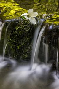 Dogwood Spring I by William Neill