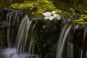 Dogwood Spring II by William Neill