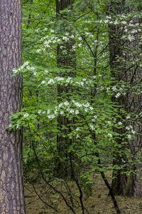 Dogwood Tapestry by William Neill