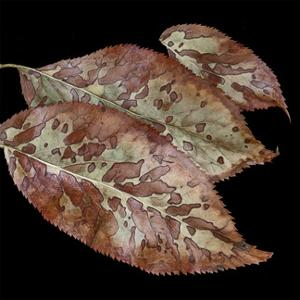 Elderberry Leaves I by William Neill