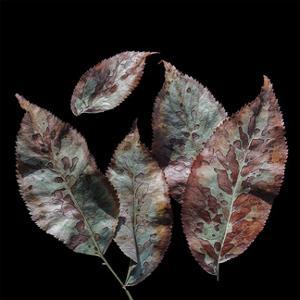 Elderberry Leaves III by William Neill