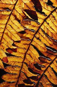 Golden Fern by William Neill