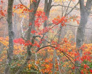 Red Maples and Mist by William Neill