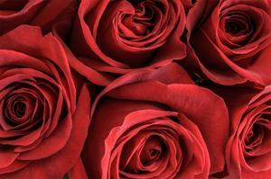 Red Roses II by William Neill