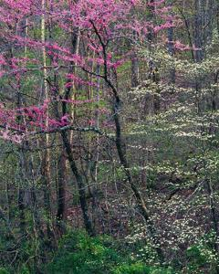 Redbud and Dogwood I by William Neill