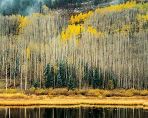 Rocky Mountain Aspen by William Neill