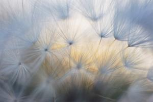 Salsify Seeds I by William Neill