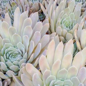 Succulents I by William Neill