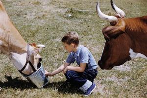 Boy Feeding Cows by William P. Gottlieb