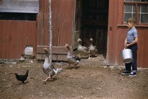 Boy Watching Geese Leave Barn by William P. Gottlieb