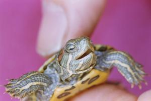 Small Turtle by William P. Gottlieb