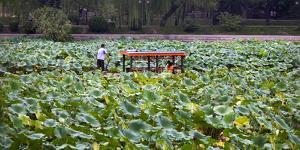 Boat Tourists in Lotus Pond Purple Bamboo Park, Beijing by William Perry